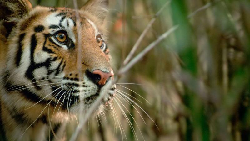 TheHunt_103_tiger