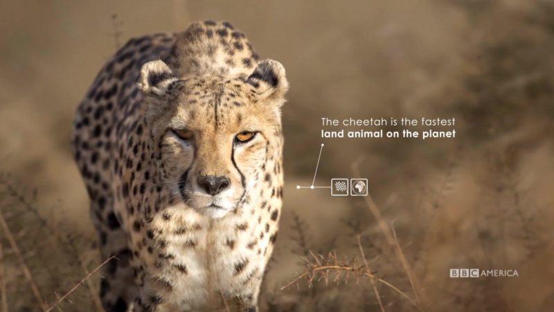 The_Hunt_S1_Social_Animation_2_Cheetah_YouTube_Preset_1920x1080_707848259843