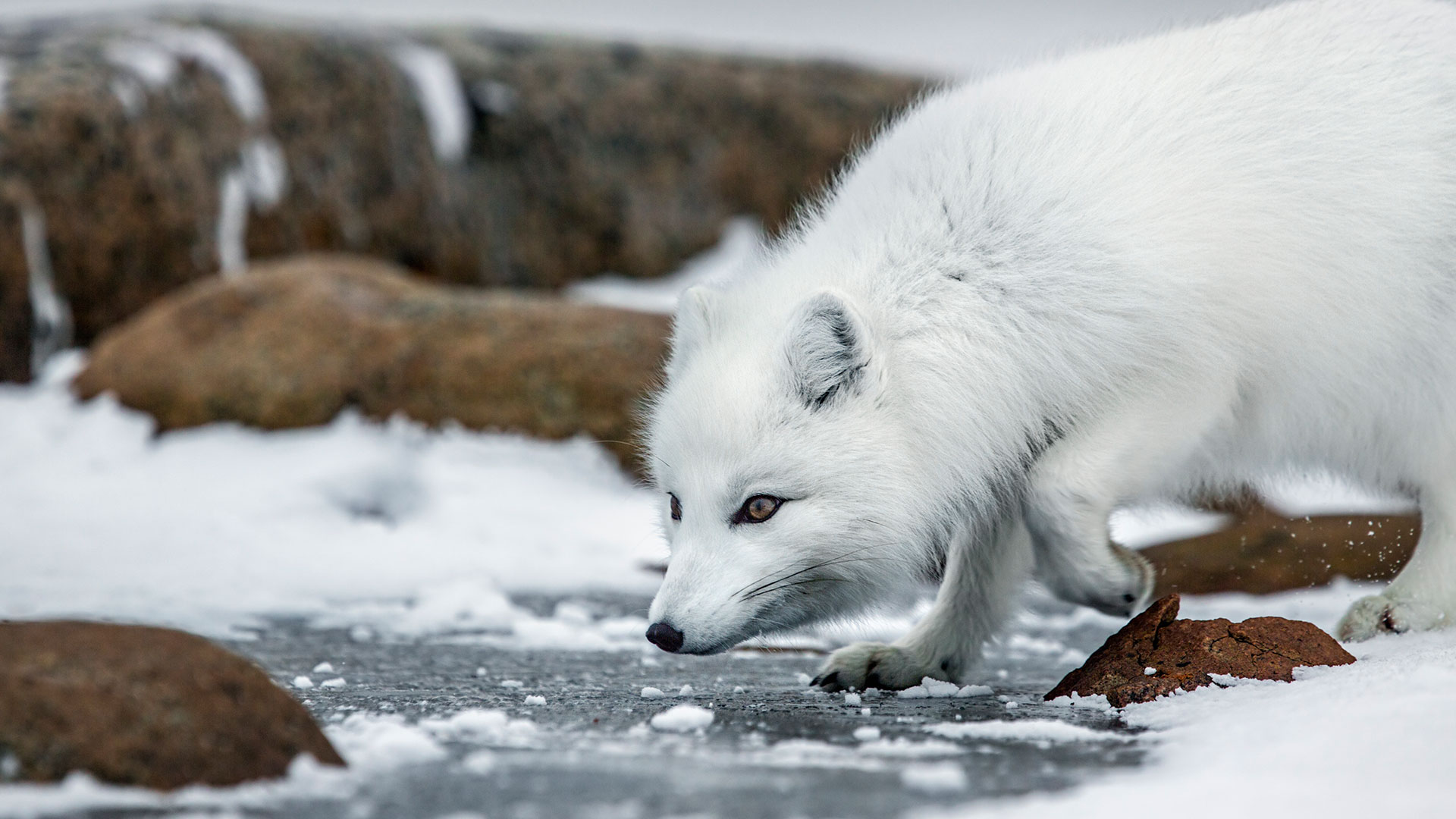 arctic fox wallpapers animals backgrounds grip seasons arcticfox animal quiz bbc background ep wallpaperplay bbcamerica thehunt