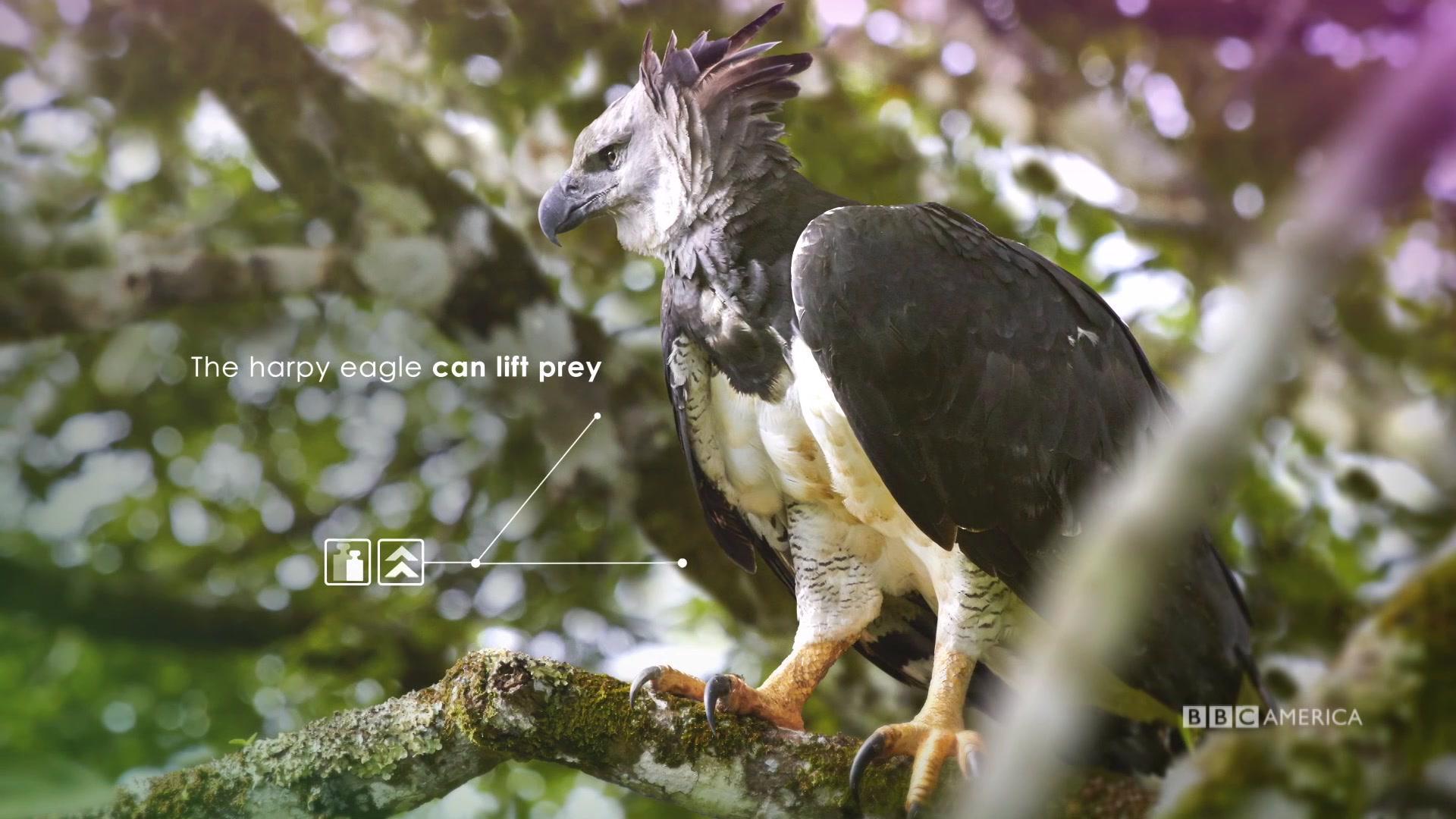 Harpy eagle hunting monkey - photo#53