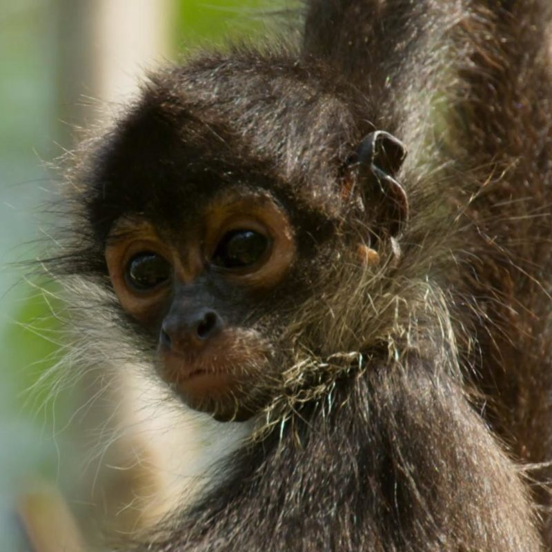 Planet_Earth_II_E03_Sneak_Peek_Baby_Spider_Monkey_YouTubePreset_1920x1080_860863555722