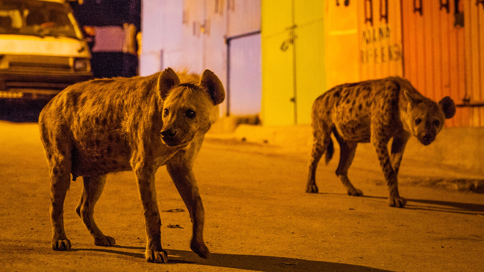 Picture shows: A pair of spotted hyenas search for scraps of food on the streets of Harar in Ethiopia