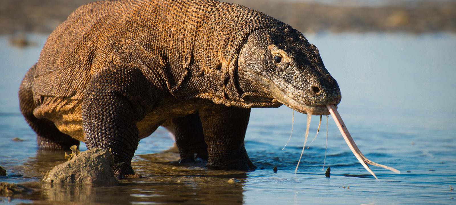 Komodo dragons are the largest lizards on earth and inhabit only a handful of islands in the Indonesian archipelago. They are equipped with an impressive armory of re-enforced scales, knife-like claws and strong tails, which the males use to fight for dominance & the rights to mate during the breeding season.