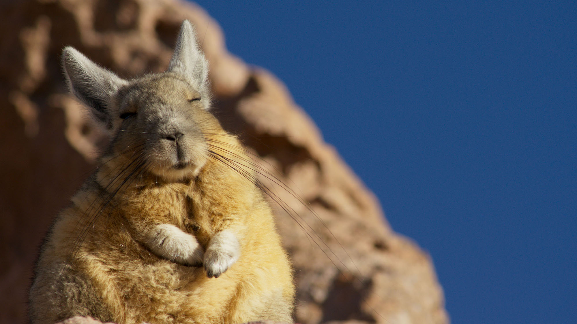 High in the Andes, Mountain Viscacha bask in the warming rays of the early morning sun.