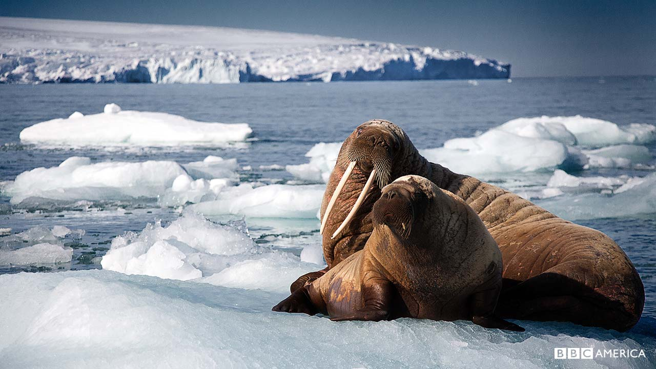 blue-planet-walrus-1280