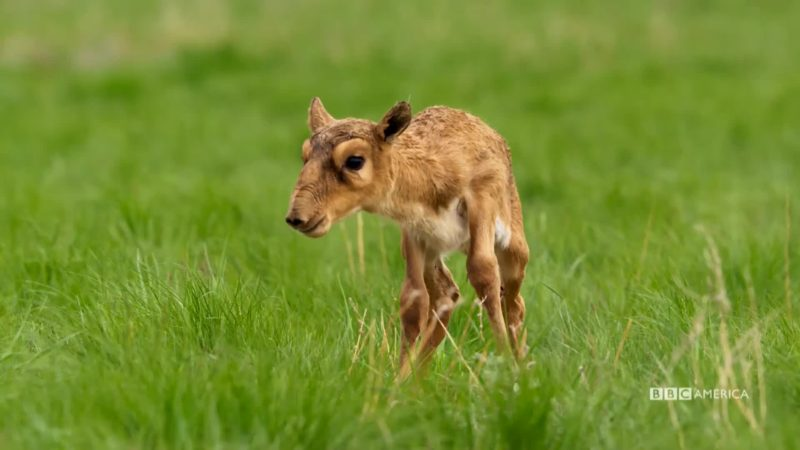 Planet_Earth_II_Ep_5_Grasslands_Saiga_Antelope_Social_YouTubePreset_900451907603_mp4_video_1920x1080_5000000_primary_audio_7_1920x1080_900454979587