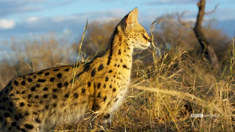 Planet_Earth_II_Ep_5_Grasslands_Serval_Cats_Social_YouTubePreset_900453443617_mp4_video_1920x1080_5000000_primary_audio_7_1920x1080_900453443812