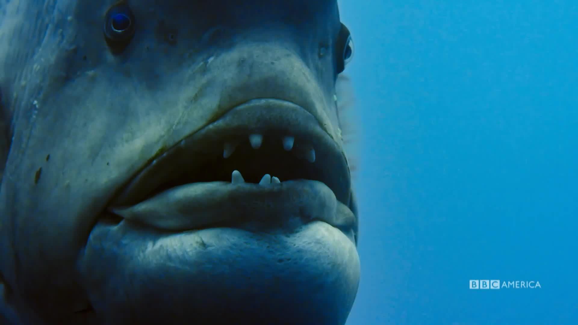 WATCH: A Fish Sex Transformation | Planet Earth: Blue Planet II | BBC  America