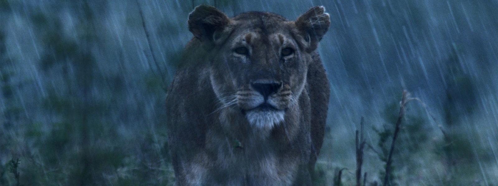 Lion_1920x1080