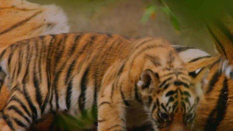 Dynasties_Tagline_Spots_Tigers_15_Saturday_Jan_19_9pm_1920x1080_1424449091890
