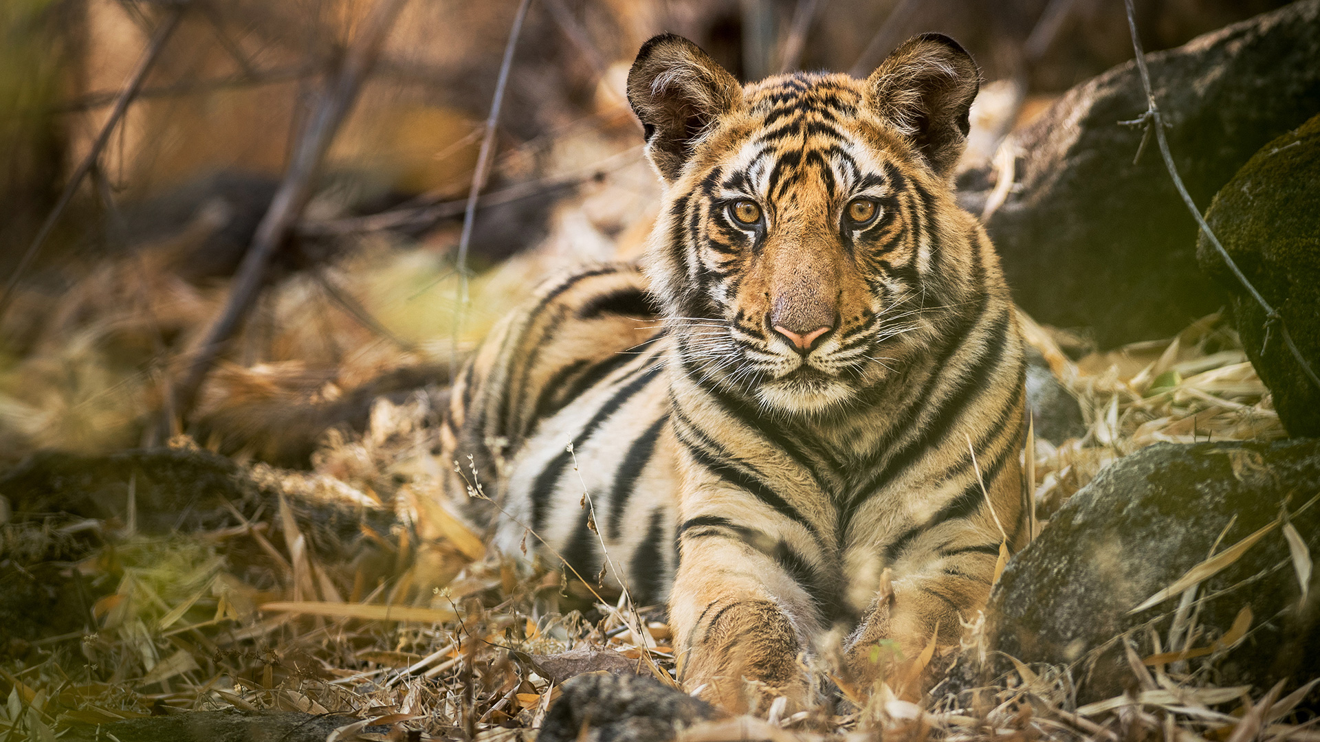 Tiger Dynasties Bbc America