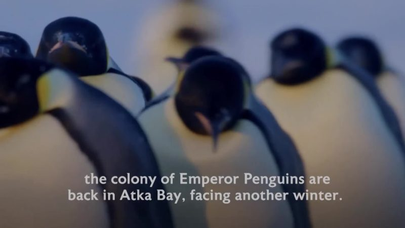 Dynasties_S01_What_Happened_Next_PENGUINS_16x9_1444379715952_mp4_video_1920x1080_5000000_primary_audio_eng_6_1920x1080_1444378691871