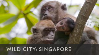 BBCA_WildCitySingapore_320x180
