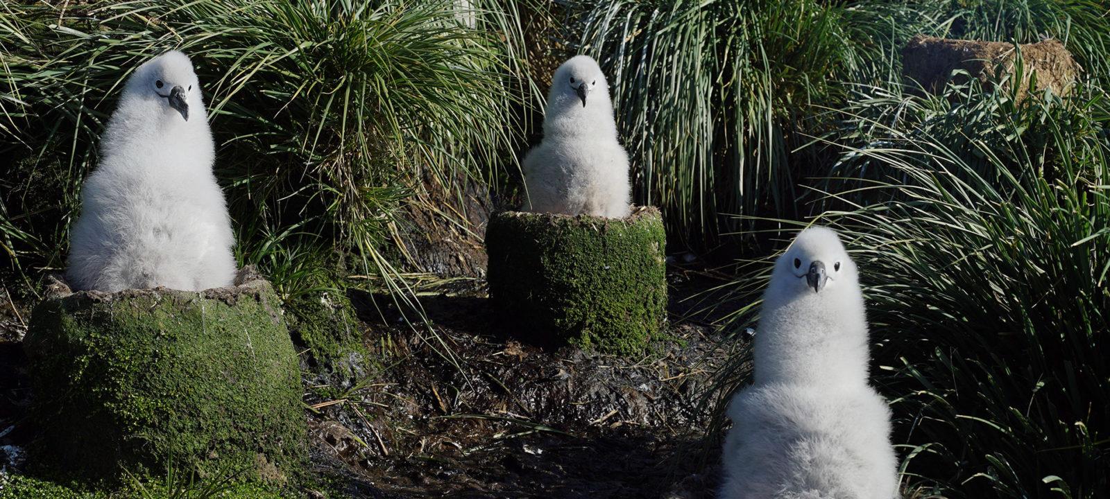 SWOP-albatross