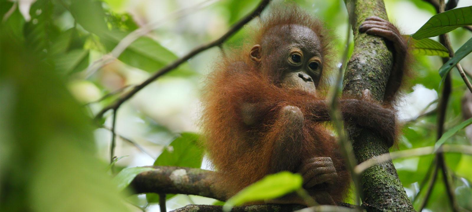 SWOP-orangutan
