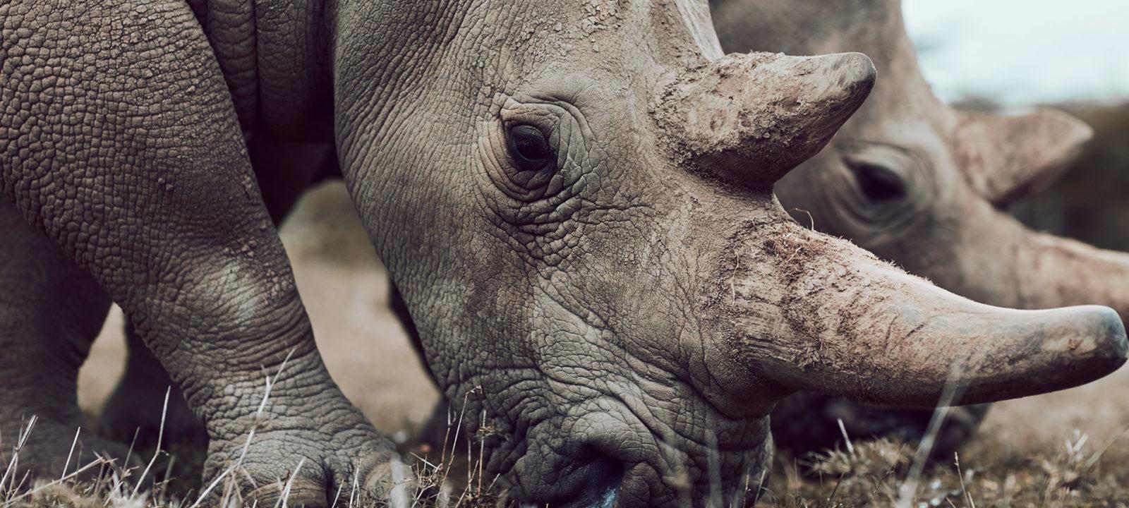 SWOP-rhinos-howtohelp