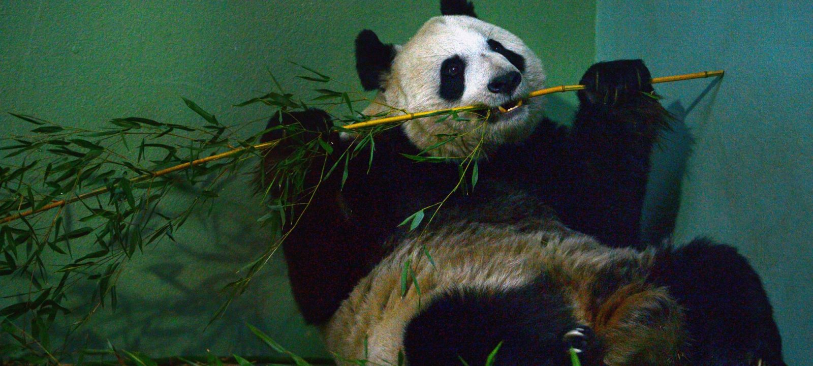 A panda at Edinburgh Zoo