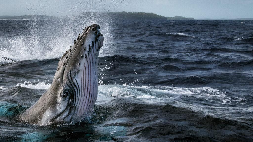 A whale head emerging from a dark deep blue sea.