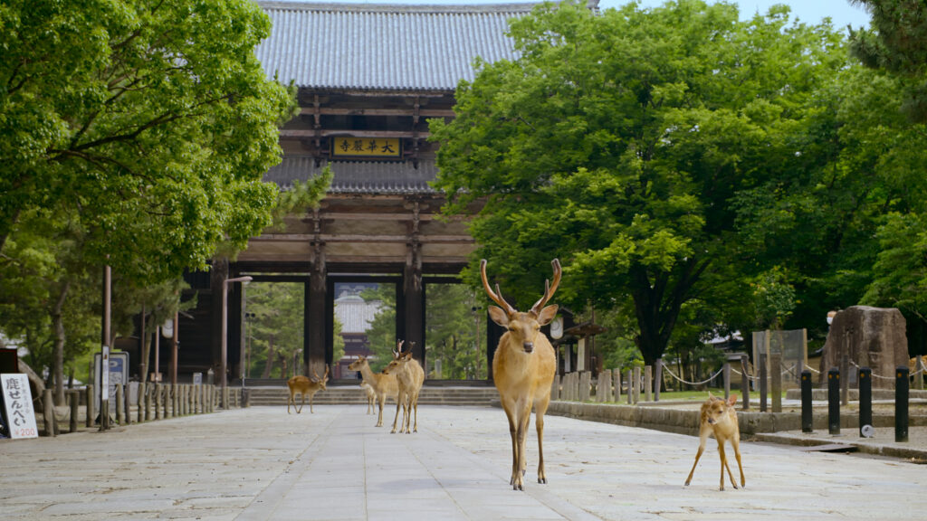 A group of male and female deer are walking on pavement surrounded by green trees with a Chinese pavilion behind them.