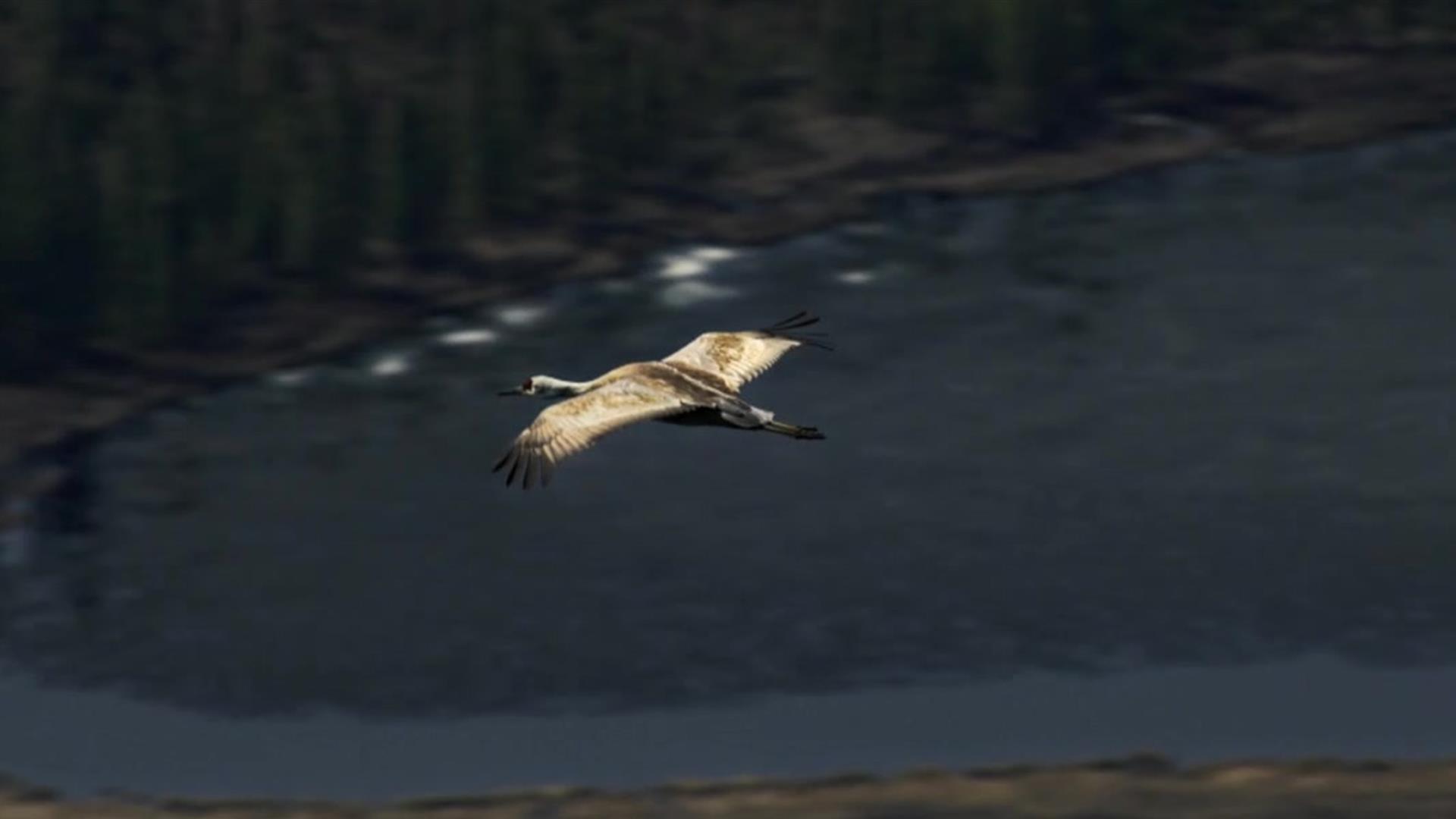 Hawk Flies Above Journey to the Heart of the Sandhills